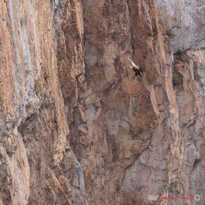 2/9 détail Vautour fauve en vol d'approche de son nid / Buitre beonado que se acerca al nido, Foz de Arbaiun, Navarra