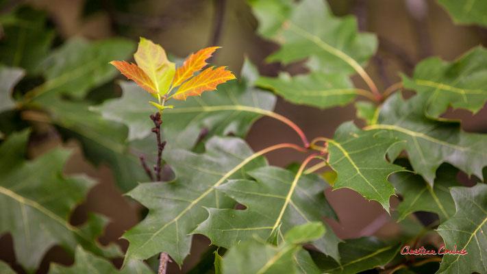 Jeunes feuilles de chêne rouge d'Amérique (Quercus rubra). Forêt de Migelan, espace naturel sensible, Martillac / Saucats / la Brède. Samedi 23 mai 2020. Photographie : Christian Coulais