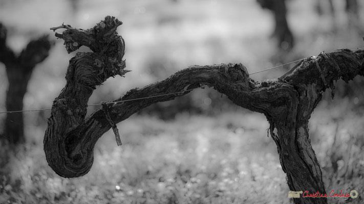 """L'hippocampe"". Vitis vinifera Land Art"