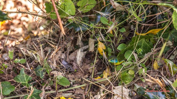 Pouvant atteindre 40 cm, Lacerta bilineata est le plus grand de nos lézards après le lézard ocellé. Forêt de Migelan, espace naturel sensible, Martillac / Saucats / la Brède. Vendredi 22 mai 2020. Photographie : Christian Coulais