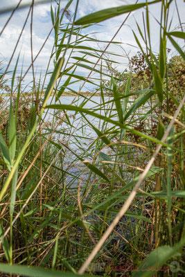 Le râle d'eau, la bécassine, les vanneaux et les hérons cendrés et pourprés se cachent dans les roselières et la cladiaie...Étang de Cousseau