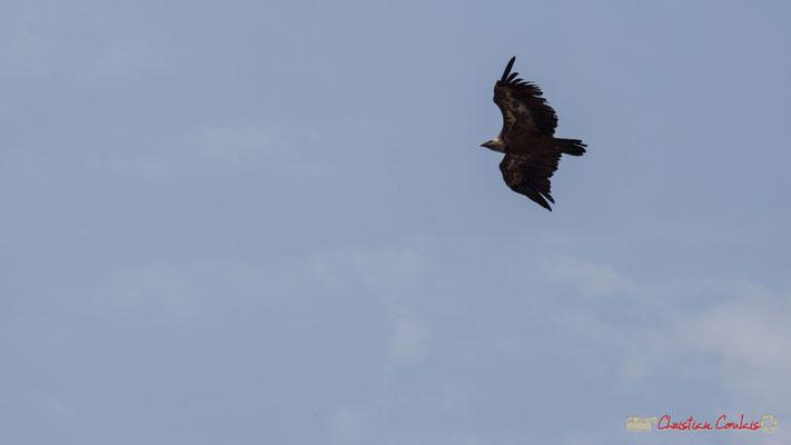 Vol de vautour fauve / Foz de Lumbier / Navarra