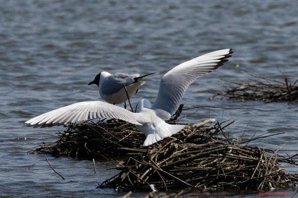 Mouettes rieuses. Réserve ornithologique du Teich. Photographie Jean-Pierre Couthouis. Samedi 3 avril 2021