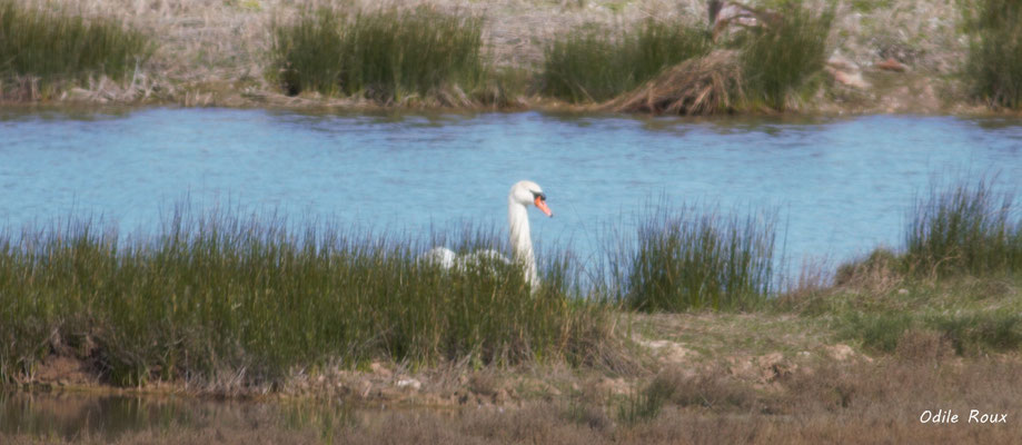Cygne tuberculé ou muet. Réserve ornithologique du Teich. Photographie Odile Roux. Samedi 16 mars 2019