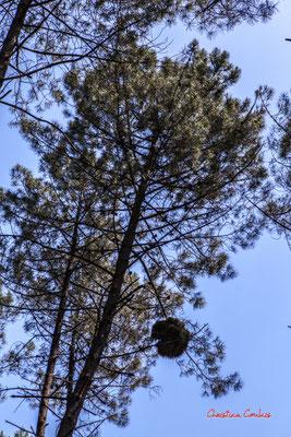Serait-ce un nid d'écureuil dans un pin maritime ? Forêt de Migelan, espace naturel sensible, Martillac / Saucats / la Brède. Vendredi 22 mai 2020. Photographie : Christian Coulais