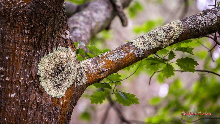 2/2 Mousse et lichen. Forêt de Migelan, espace naturel sensible, Martillac / Saucats / la Brède. Samedi 23 mai 2020. Photographie : Christian Coulais