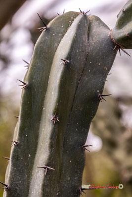 Chandelle bleue. Genre : Myrthillocactus; Espèce : Geometrizans; Famille : Cactaceae; Ordre : Caryophyllales. Serre tropicale du Bourgailh, Pessac. 27 mai 2019