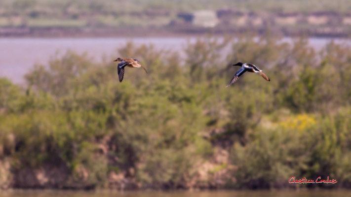 Vol d'un couple de tadorne de Belon. Réserve ornithologique du Teich. Samedi 3 avril 2021. Photographie © Christian Coulais