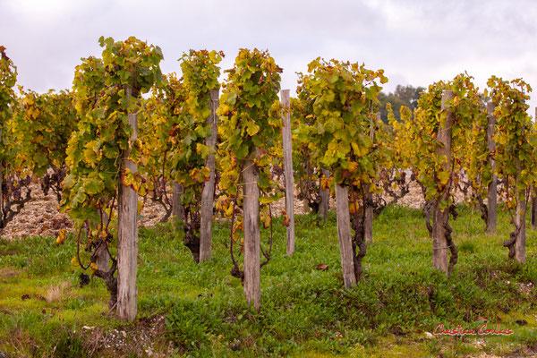 """""""Carassons / Echalats""""; Vignoble du Château d'Yquem, Sauternes. Samedi 10 octobre 2020. Photographie © Christian Coulais"""