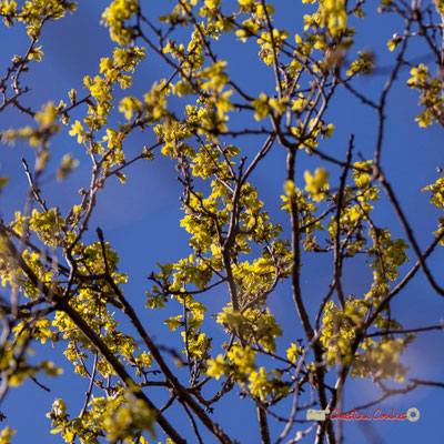 Jeune feuillage de chêne. Réserve ornithologique du Teich. Samedi 16 mars 2019