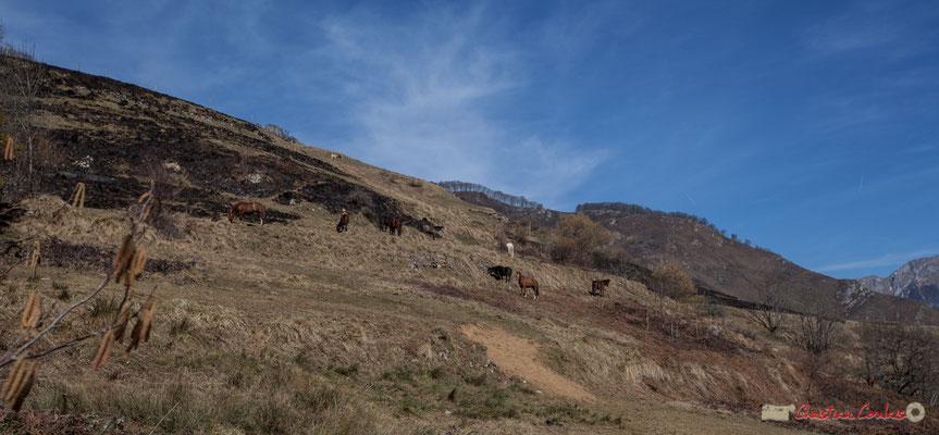 Elevage de chevaux sur pacage après écobuage. Cirque de Lescun, D340, Escouay, vallée d'Aspe, Pyrénées-Atlantiques