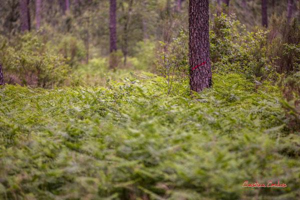 """""""Red slash"""" Barre oblique rouge. Forêt de Migelan, espace naturel sensible, Martillac / Saucats / la Brède. Samedi 23 mai 2020. Photographie : Christian Coulais"""