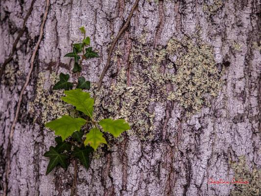 Jeunes feuilles sur écorce de chêne pédonculé. Forêt de Migelan, espace naturel sensible, Martillac / Saucats / la Brède. Samedi 23 mai 2020. Photographie : Christian Coulais