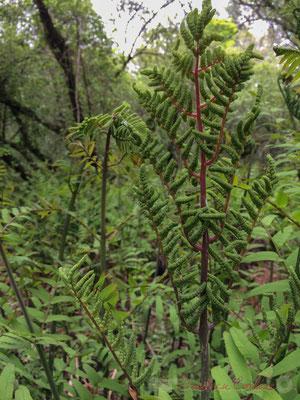 Osmonde royale (Osmunda regalis), aussi appelée fougère royale ou fougère fleurie