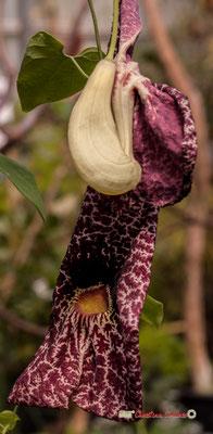 Amérique du Sud. Genre : Aristolochia; Espèce : Gigantea; Famille : Aristolochiaceae; Ordre : Piperales. Serre tropicale du Bourgailh, Pessac.