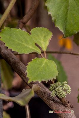 Vigne marronnier. Asie / Australie. Genre : Tetrastigma; Espèce : Voinierianum; Famille : Vitaceae; Ordre : Vitales. Serre tropicale du Bourgailh, Pessac. 27 mai 2019