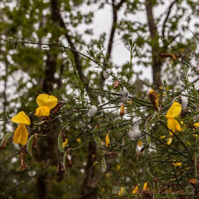 Genêt et écume produite par les larves de cercope. Forêt de Lège-Cap Ferret, Gironde, Aquitaine