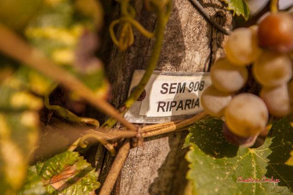 Cépage Sémillon sur porte-greffe Riparia; Vignoble du Château d'Yquem, Sauternes. Samedi 10 octobre 2020. Photographie © Christian Coulais