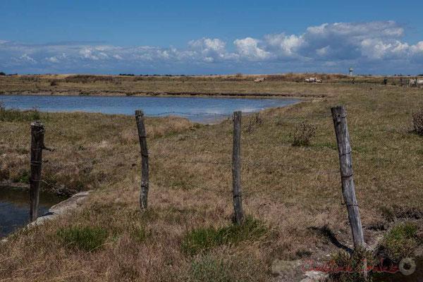 Pacage de troupeaux de vaches dans les marais salants de l'Île de Noirmoutier entre l'Epine et Noimoutier en l'Île, Vendée, Pays de la Loire
