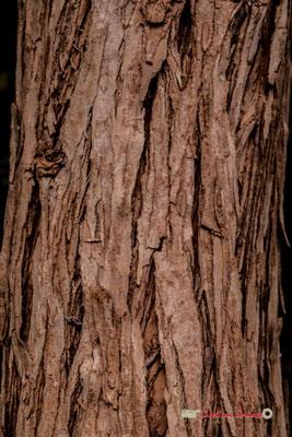 Australie. Genre : Melaleuca; Espèce : Armillaris; Famille : Myrtaceae; Ordre : Myrtales. Serre tropicale du Bourgailh, Pessac. 27 mai 2019