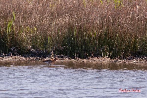 Barge à queue noire. Réserve ornithologique du Teich. Samedi 3 avril 2021. Photographie © Christian Coulais