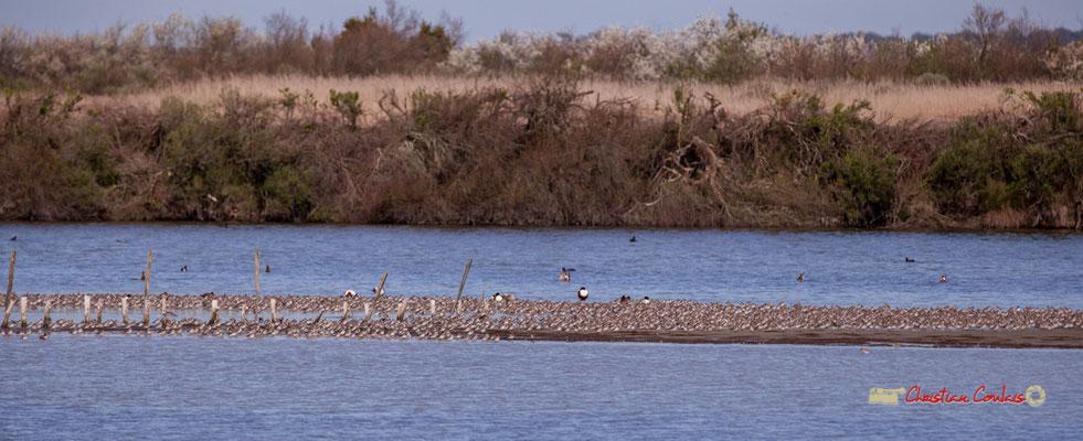 Colonie d'oiseaux limicoles, réserve ornithologique du Teich. Samedi 16 mars 2019