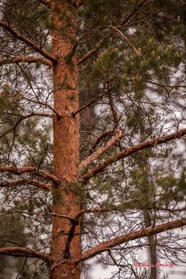 """""""Rouge alios"""" Forêt de Migelan, espace naturel sensible, Martillac / Saucats / la Brède. Samedi 23 mai 2020. Photographie : Christian Coulais"""