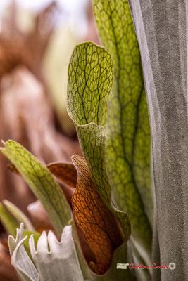 Java, Nouvelle-Guinée. Corne d'élan ou de cerf. Genre : Platycerium; Espèce : Bifurcatum; Famille : Polypodiaceae; Ordre : Polypodiales. Serre tropicale du Bourgailh, Pessac. 27 mai 2019