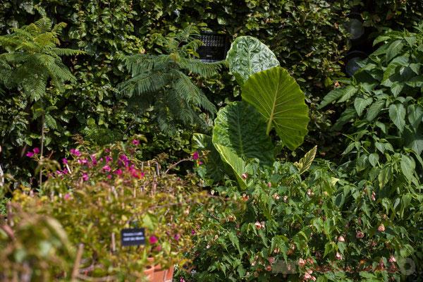 Le jardin des bougainvilliers; le Conservatoire des collections végétales spécialisées, C.C.V.S; France