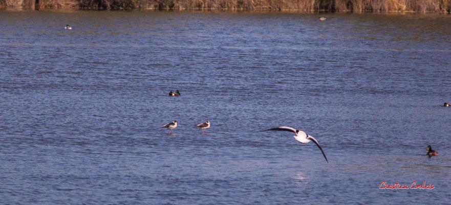 Vol d'échasse blanche. Réserve ornithologique du Teich. Samedi 3 avril 2021. Photographie © Christian Coulais