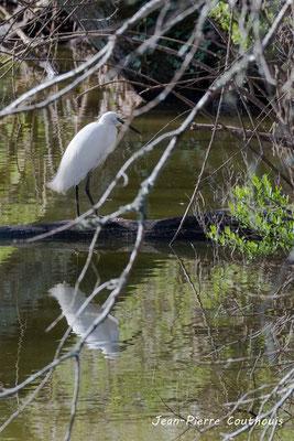 Aigrette garzette. Réserve ornithologique du Teich. Photographie Jean-Pierre Couthouis. Samedi 16 mars 2019