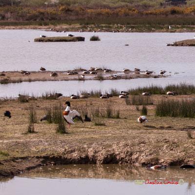 Foulques macroules et Tadorne de Belon. Réserve ornithologique du Teich. Samedi 16 mars 2019. Photographie © Christian Coulais