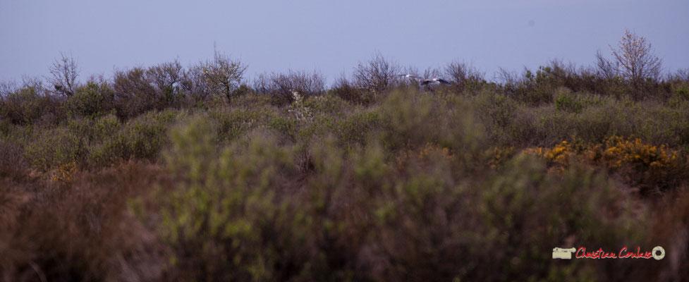 Ailes luisantes du héron cendré. Réserve ornithologique du Teich. Samedi 16 mars 2019