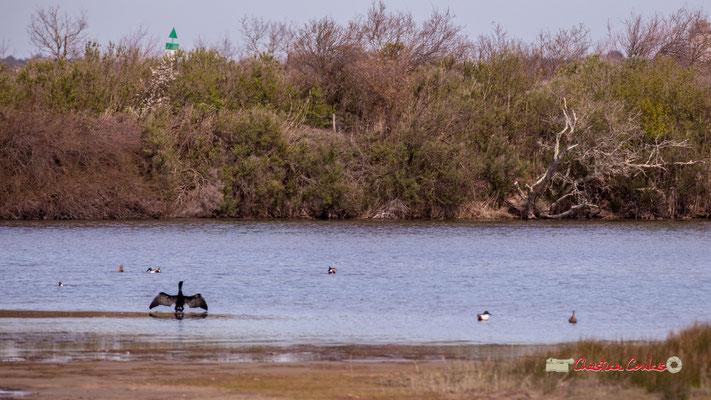 Grand cormoran, réserve ornithologique du Teich. Samedi 16 mars 2019. Photographie © Christian Coulais