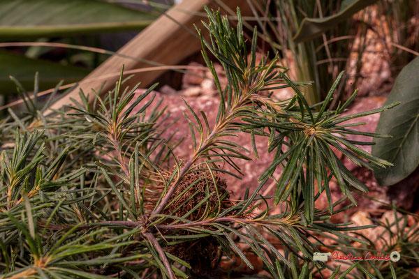 """Birthay Candle"" Genre : Banksia; Famille : Proteaceae; Ordre : Proteales. Serre tropicale du Bourgailh, Pessac. 27 mai 2019"