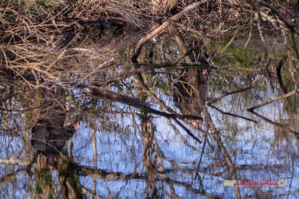 """""""Camouflage"""" Réserve ornithologique du Teich, samedi 16 mars 2019"""