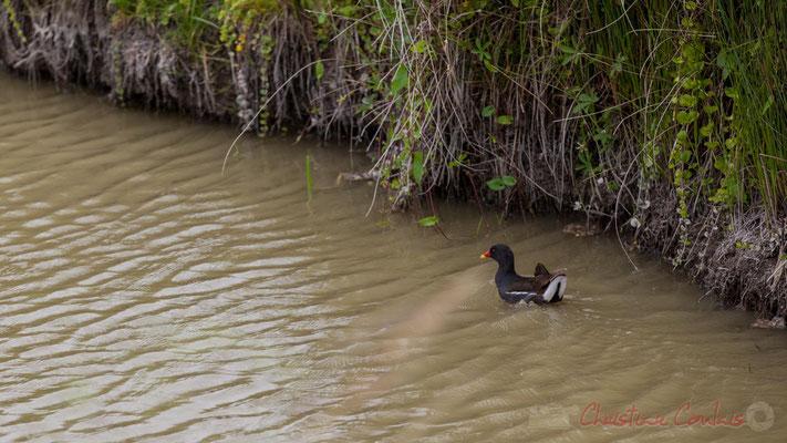 La poule d'eau longe la rive droite et s'en va pour nous masquer de la vue ses poussins