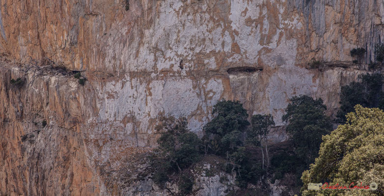 1/2 Vol de vautour fauve le long de la falaise de la Foz de Arbaiun / Vuelo de buitre leonado a lo largo del acantilado de la Foz de Arbaiun, Navarra