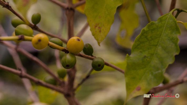 Genre : Coffea; Espèce : Arabica; Famille : Rubiaceae; Ordre : Rubiales. Serre tropicale du Bourgailh, Pessac. 27 mai 2019