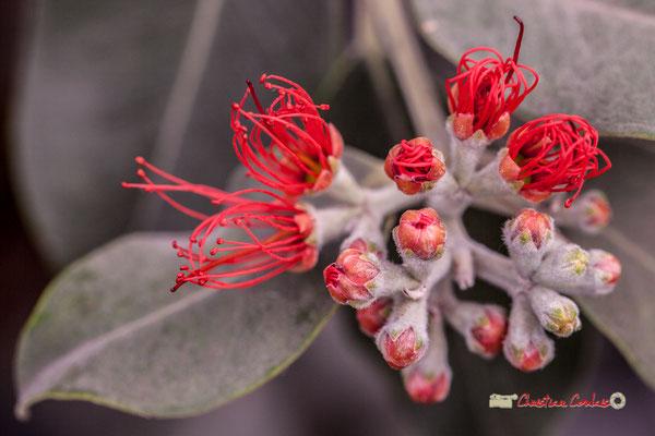 Pohutukawa, arbre sacré des Maoris, Nouvelle-Zélande. Genre : Metrosideros; Espèce : Excelsa; Famille : Myrtaceae; Ordre : Myrtales. Serre tropicale du Bourgailh, Pessac. 27 mai 2019