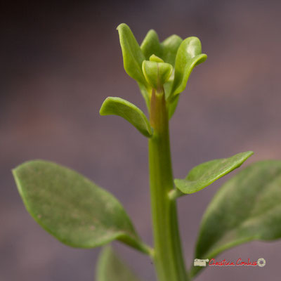 Genre : Brachychiton Espèce : Populneus; Famille : Sterculiaceae; Ordre : Malvales. Serre tropicale du Bourgailh, Pessac. 27 mai 2019