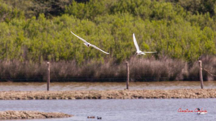 Vol de mouettes rieuses, réserve ornithologique du Teich. Samedi 3 avril 2021. Photographie © Christian Coulais