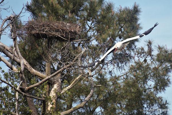 Envol de cigogne blanche. Réserve ornithologique du Teich. Photographie Gaël Moignot. Samedi 16 mars 2019
