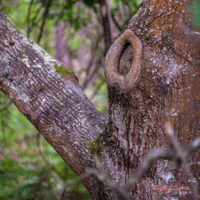 """2/2 """"Bourrelet cicatriciel"""" Forêt de Migelan, espace naturel sensible, Martillac / Saucats / la Brède. Samedi 23 mai 2020. Photographie : Christian Coulais"""