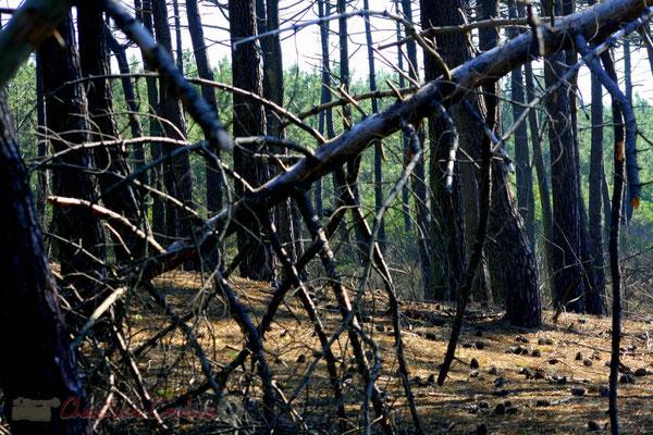 Rest de tempête au bois du Petit-Nice de Pyla-sur-Mer, route de Biscarrosse, forêt domaniale de La Teste-de-Buch