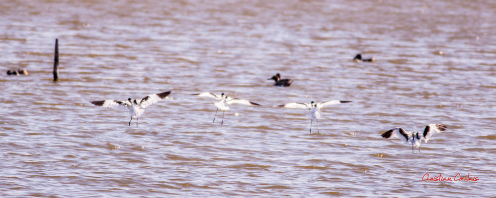 Vol d'avocettes élégantes. Réserve ornithologique du Teich. Samedi 3 avril 2021. Photographie © Christian Coulais