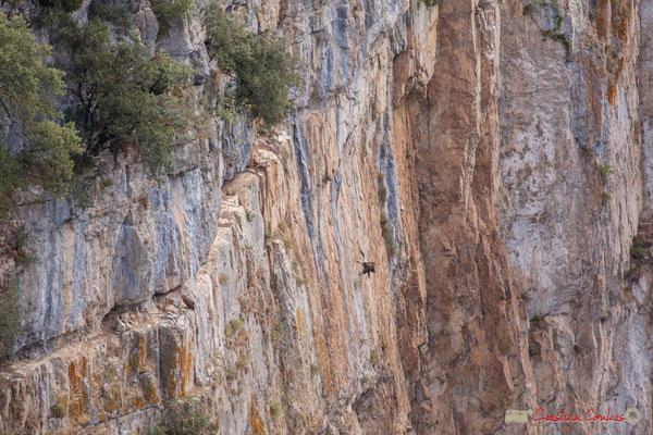 4/9 Vautour fauve en vol d'approche de son nid / Buitre beonado que se acerca al nido, Foz de Arbaiun, Navarra