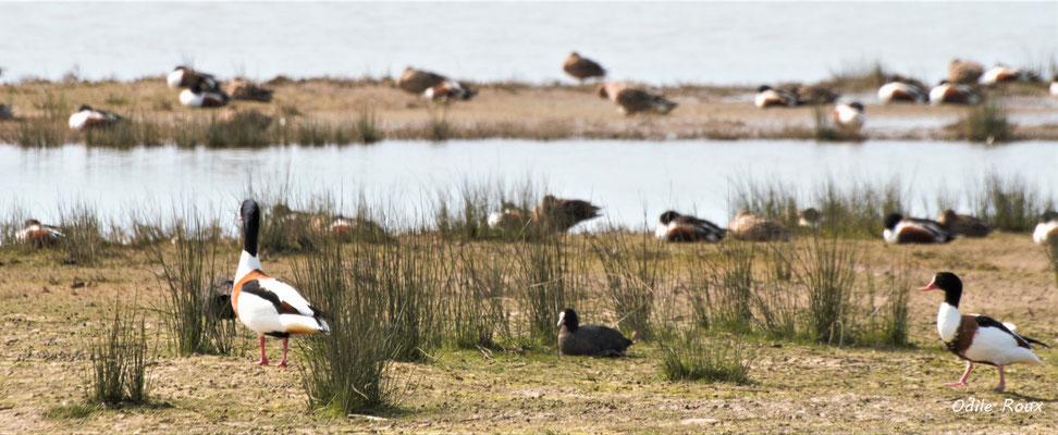 Tadorne de Belon et Foulque macroule. Réserve ornithologique du Teich. Photographie Odile Roux. Samedi 16 mars 2019