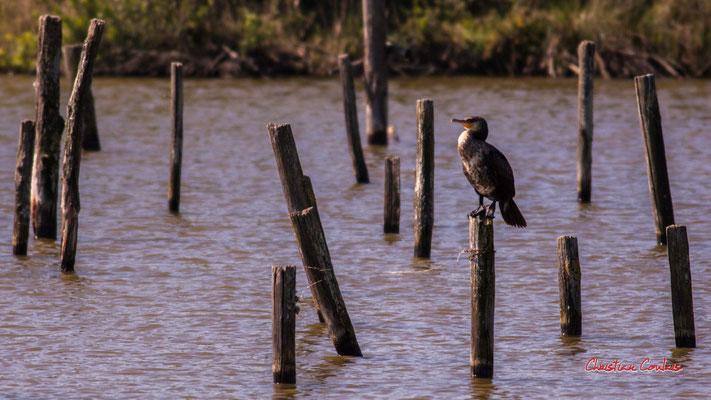 Grand cormoran. Réserve ornithologique du Teich. Samdei 3 avril 2021. Photographie © Christian Coulais