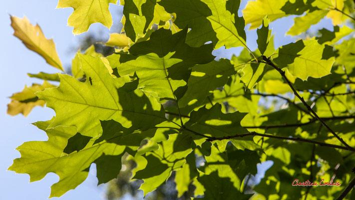 1/2 Feuilles de chêne rouge d'Amérique (Quercus rubra). Forêt de Migelan, espace naturel sensible, Martillac / Saucats / la Brède. Vendredi 22 mai 2020. Photographie : Christian Coulais